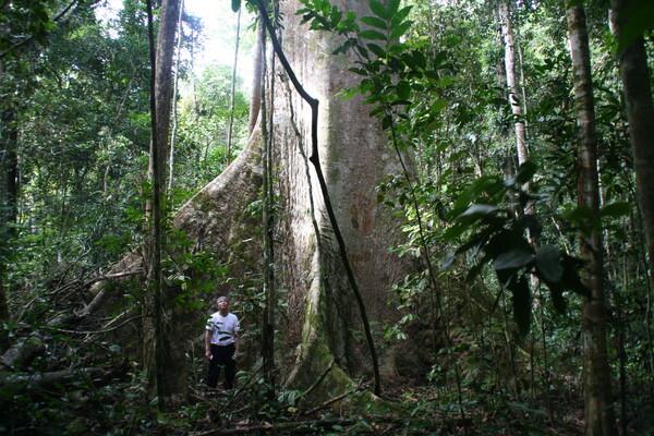 Tualangの木