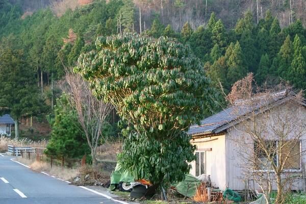 ユズリハの大木