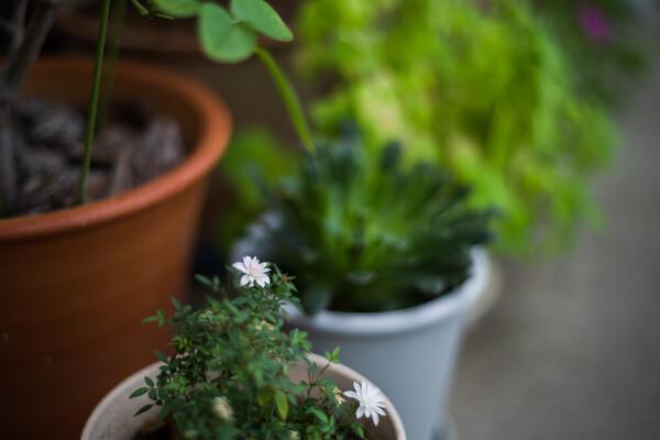 小さなバラ