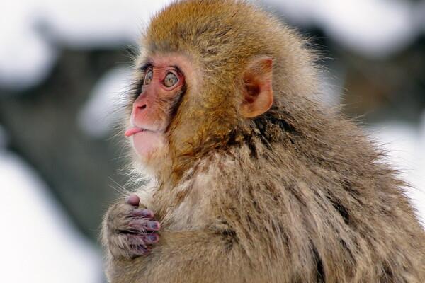 【思い出の写真】 日本猕猴
