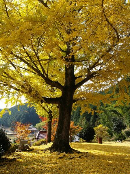 【木】黄葉した公孫樹♪