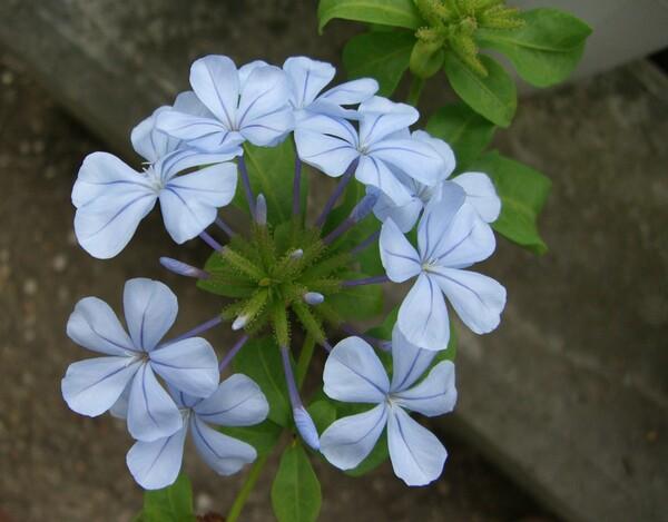 ルリマツリ(3年前の花)