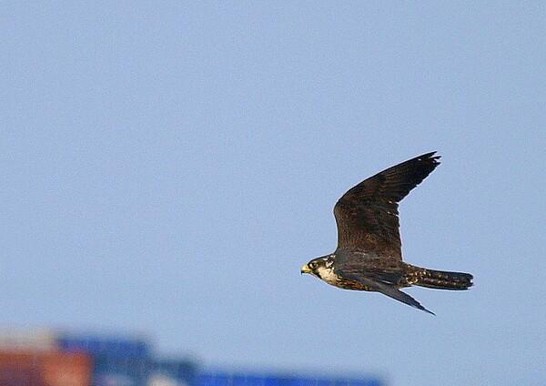 【天】青空を飛ぶ鳥 3