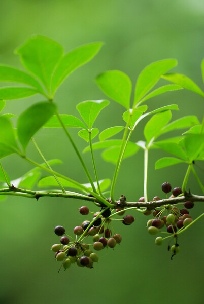 森の小豆玉