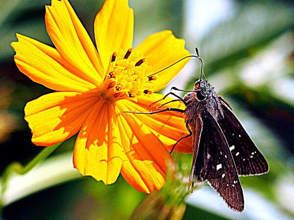 【元気】はつらつセセリ蝶