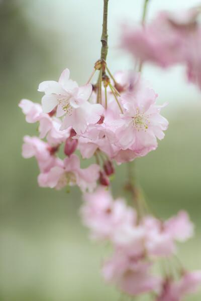 SD15で桜の写真など Ⅱ