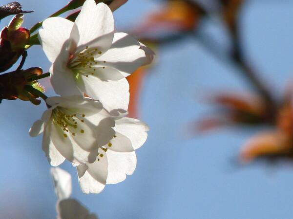【淡彩】透桜