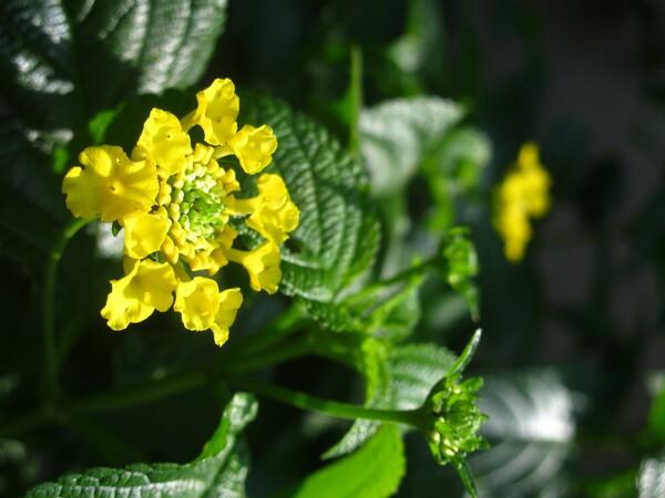 黄色いランタナ