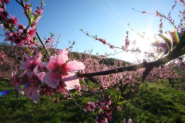 早朝の桃畑にて。