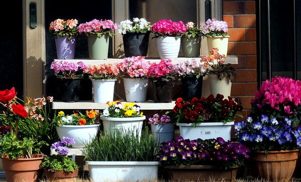 【春景】 玄関の花