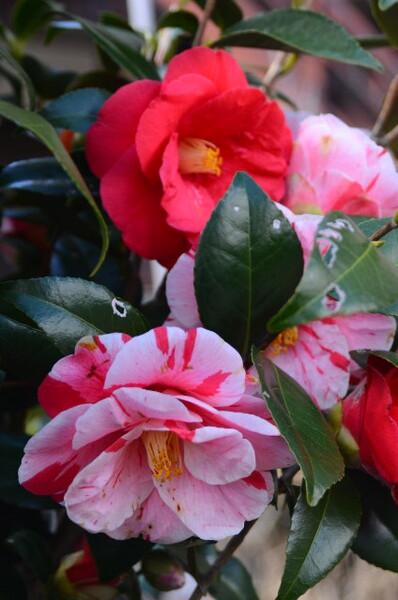 咲き分け 椿 その2