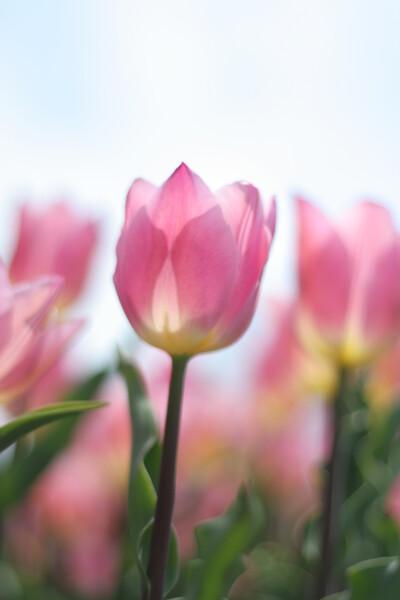ピンクの香り