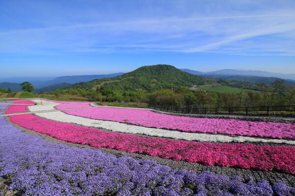 茶臼山と芝桜