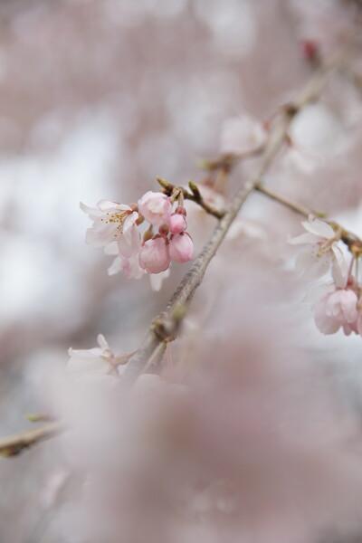 枝垂れるピンク