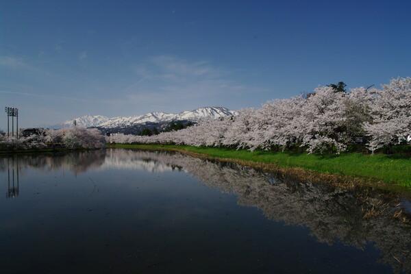 雪山と桜の競演
