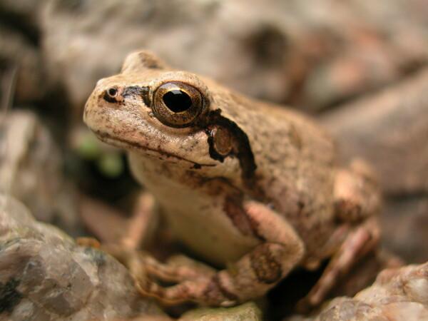 ポートレイト 蛙さま