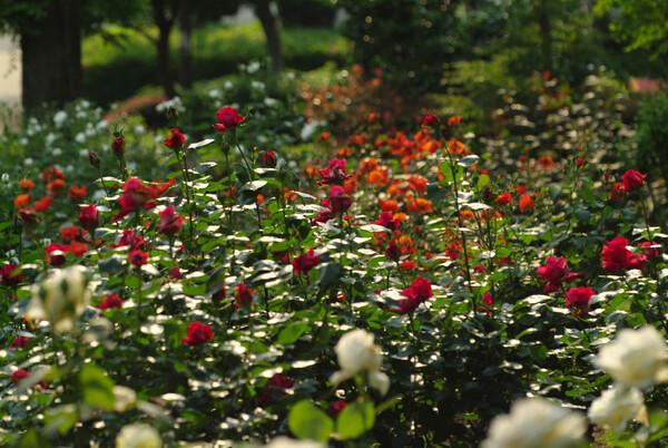 咲き乱れる薔薇