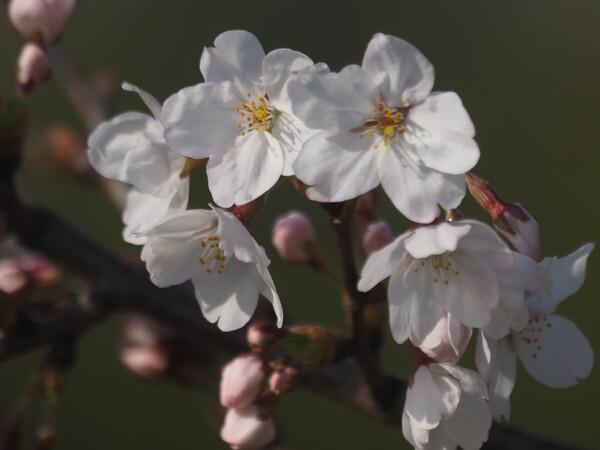 【桜花】桜の花UP