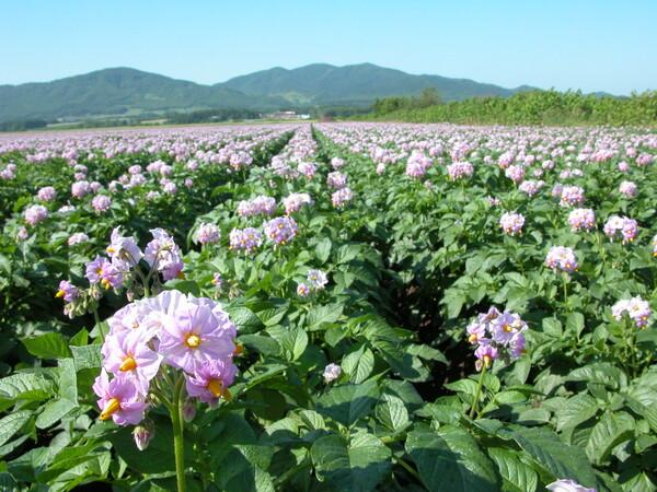 ジャガ芋の花
