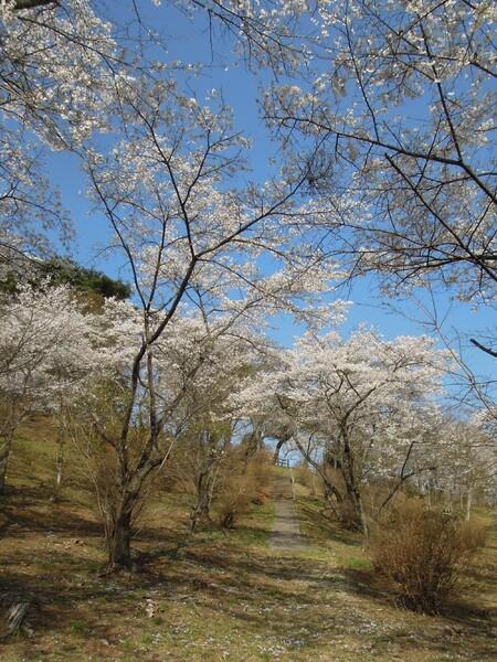 山桜の小路