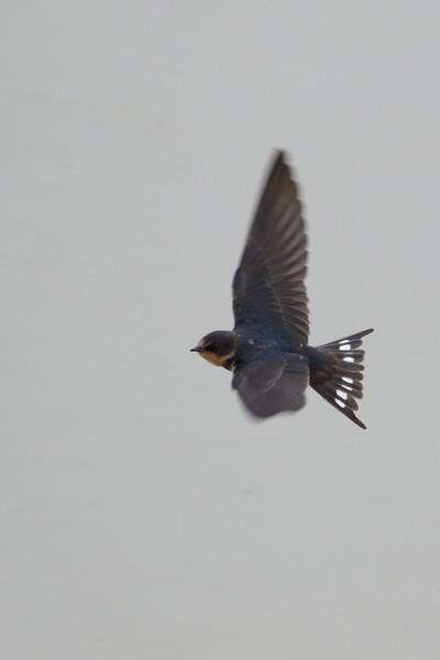 飛翔するチュンバメの撮影(その1)