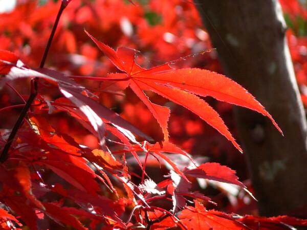 【秋】かえで