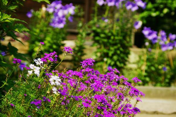 紫色の境内
