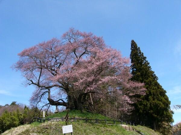 この桜好きです #2