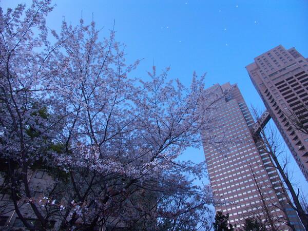 『都会の桜』