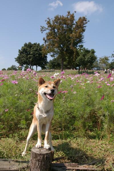 【秋】と言えばコスモス、と愛犬^^;