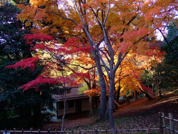 高岡古城公園の紅葉 原画