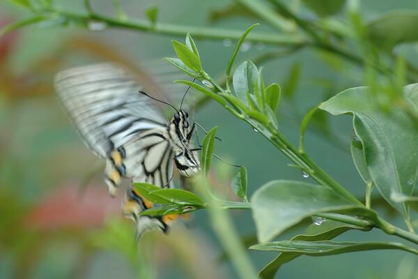 蝶のホバーリング