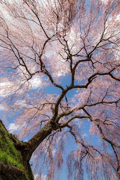 岩太郎しだれ桜