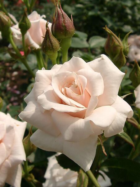 ★09春バラ・セレクション-66