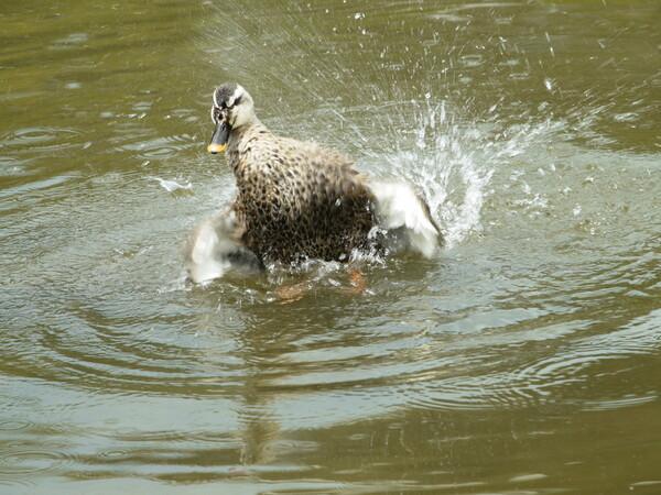 鴨が水浴び