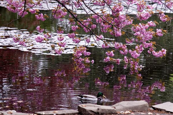 満開の蝦夷山桜