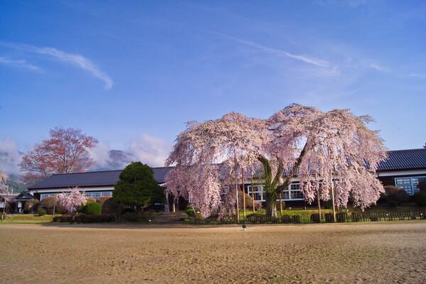杵原学校の枝垂桜2015