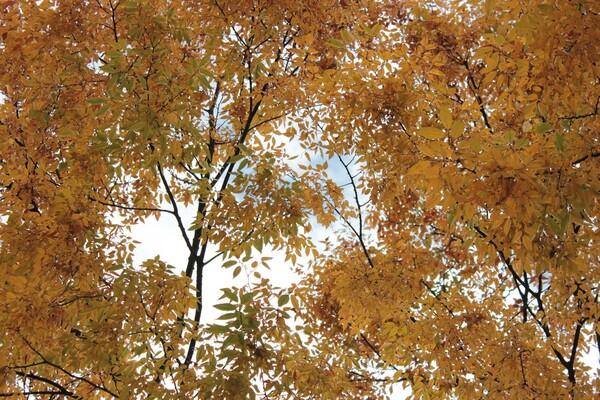 空に広がる黄葉モミジ