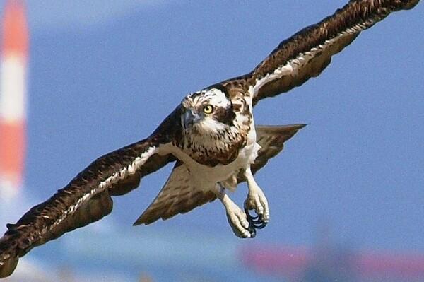 【天】空を飛ぶ猛禽UP