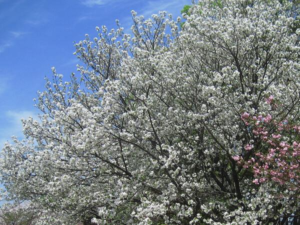 白い八重桜