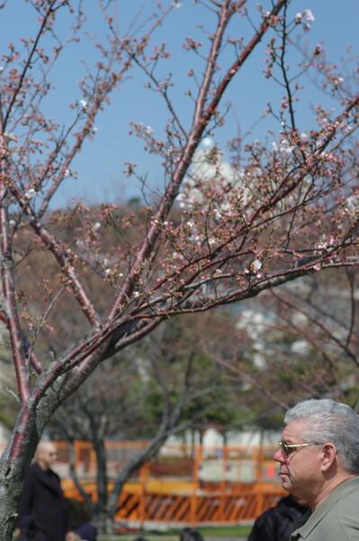 横須賀基地の桜