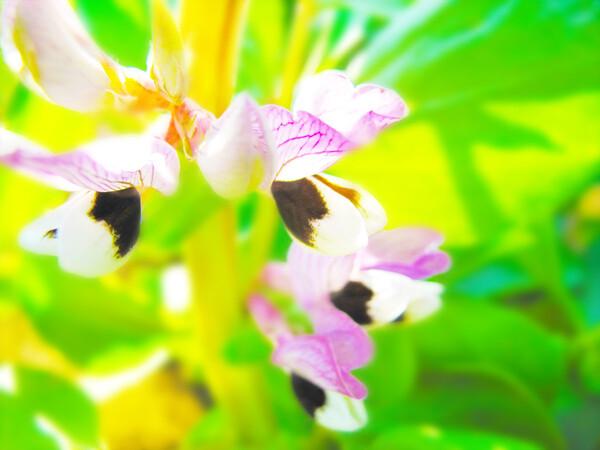 [淡彩] 蚕豆の花