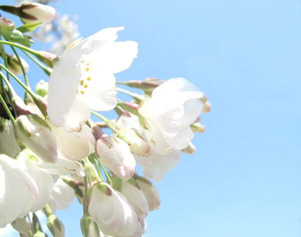 [淡彩] 桜さくら