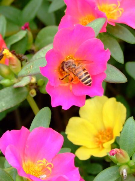 一心不乱に蜜を捜すミツバチ