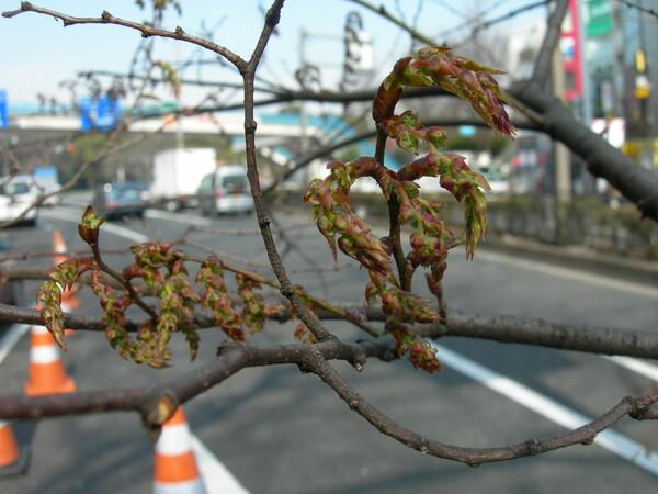 【春】ケヤキ
