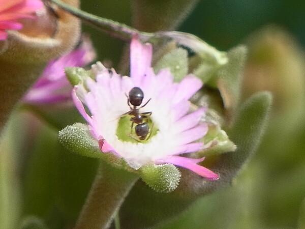 【生き物景色】メセンの蟻