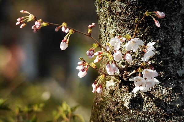 桜はチラホラ咲き