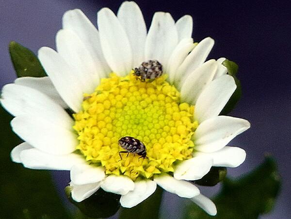 【生き物景色】小さな花の中に虫が・・
