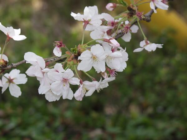 桧原桜 我家の近くのローカルな桜の名所