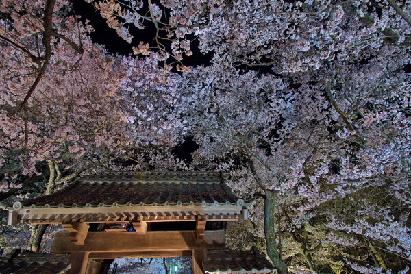 問屋門と夜桜